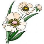 Antidouleurs... Plantes à votre secours. Le pavot anti-migraine